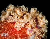 Gills of Spanish Dancer