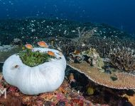 Anemonae & reef-2